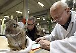 Foto: VidiPhoto<br /> <br /> NIEUWEGEIN - Zo'n 80 keurmeesters beoordelen donderdag 5400 stuks konijnen, duiven en andere kleindieren in allerlei soorten en maten in de Beursfabriek van Nieuwegein. Daarmee proberen de iinzenders van de dieren landelijk kampioen te worden. Ditmaal geen kippen- en hoederrassen vanwege de vogelgriep en dat is een fikse domper en inkomstenderving voor de organisatie. Ook de populaire en succesvolle hanenkraaiwedstrijd van zaterdag gaat daarmee niet door. En dat is dubbel jammer omdat zaterdag in China het jaar van de haan begint. Schrale troost is wel dat de kleindiertentoonstelling dit jaar wel de grootste van ons land is. Normaal gesproken is dat de Noordshow in Assen, met zo'n 60 procent aan kippenrassen. Ook daar mocht geen pluimvee aangevoerd worden. Belangstelling van publiek is er genoeg. Omdat Nederland de beste fokkers ter wereld heeft, komen kopers uit heel Europa en zelfs vanuit Bahrein naar Nieuwegein. Er worden tot en met zaterdag zo'n 10.000 bezoekers verwacht. Hoewel het fokken van kleindieren vooral een hobby is van het (ver)grijzende mannelijke volksdeel, constateert woordvoerder Ben Makker een voorzichtig toenemende belangstelling van jongeren voor het houden van konijnen en kippen.
