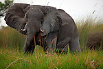 Africa, Botswana, Okavango Delta. Elephant of the Okavango Delta.