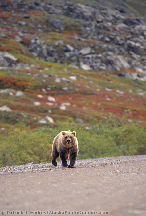 Grizzly bear, James Dalton Highway, Brooks range, Alaska
