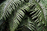 A lush fern growing on the north Island of New Zealand.