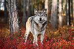 Gray wolf stands in fall foliage, Minnesota, USA