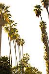 Palm Trees line streets, Pasadena, cA