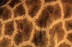 Giraffe skin, Giraffa camelopardalis, Africa
