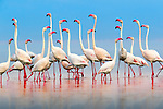 Lake Natron region, Tanzania , Greater flamingos