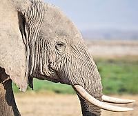 Closeup of the head and tusks of an elephant on the marshland plains of the Amboseli National Park, Kenya, Africa (photo by Wildlife Photographer Matt Considine)