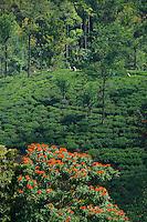Tamil Women Tea Picker in Nuwara Eliaya, Sri Lanka