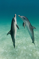 RW4727-D. Atlantic Spotted Dolphins (Stenella frontalis), two interacting with each other above sandy bottom. Bahamas, Atlantic Ocean.<br /> Photo Copyright &copy; Brandon Cole. All rights reserved worldwide.  www.brandoncole.com