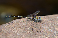 389030035 a wild male gray sanddragon progomphus borealis perches on a large rock in a stream at jewel of the creek conservation area maricopa county arizona