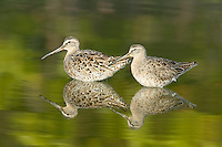 Two Short-billed Dowitchers (Limnodromus griseus) in shallow water with green trees reflected in Little Estero Lagoon, Fort Myers Beach, Florida, USA