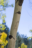 the name &quot;Tom&quot; carved on an Aspen Tree in New Mexico