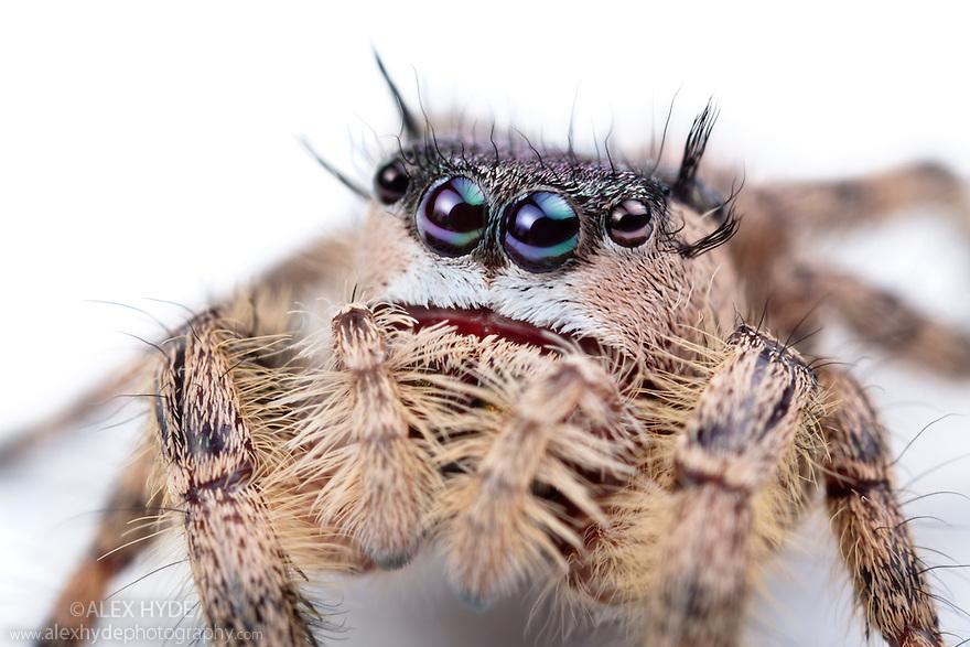 Canopy Jumping Spider female {Phidippus otiosus}, captive, orginating from North America. Size < 1cm