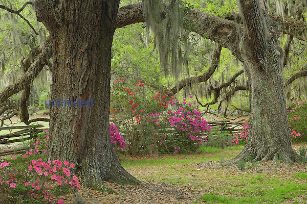 Live Oak Trees and Azaleas in bloom, Magnolia Plantation, Charleston, South Carolina, USA.