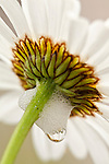 Close-up of oxeye daisy in Acadia National Park, Maine, USA