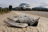 A Blackcap (Sylvia atricapilla) killed on a road, Europe.