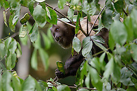 Brown Capuchin Monkey (Cebus apella), Amazon, Mato Grosso, Brazil