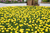 Marigolds, mass planting of annula African American large flowered Tagetes in yellow gold