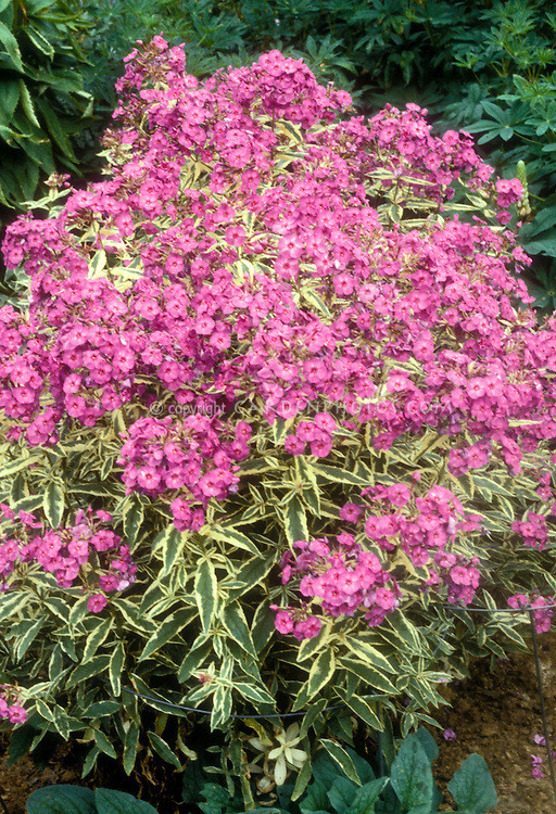 Phlox paniculata 'Harlequin' variegated foliage and pink flowers