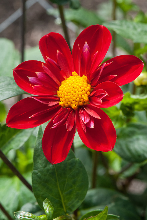 Dahlia 'Trelyn Crimson', early September.