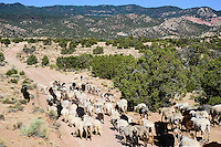 Irene Bennalley's herd heading for the Chuska Mountains. They will climb over the high ridge visible in the distance.