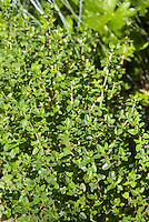 Thymus vulgaris, herb Thyme foliage leaves culinary, English thymes, growing