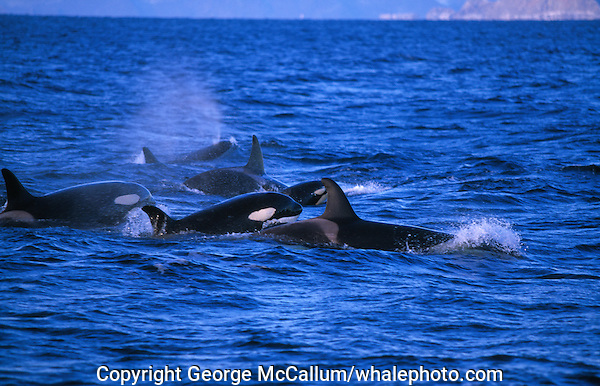 Killer whale, Orcinus orca, group hunting herring , Tysfjord, Arctic Norway, North Atlantic