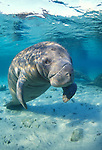 West Indian Manatee, Trichechus manatus