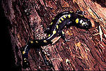 Spotted salamander  Ambystoma maculatum