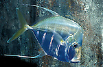 Lookdown fish, Selene vomer, game fish, Carangidae family, captive funny humor humour sad....