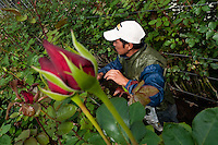 A worker crops lateral rosebuds at a flower farm in Cayambe, Ecuador, 29 June 2010. South American countries (Colombia and Ecuador) are world leaders in cut flower industry. The advantage of the moderate sunny climate, very cheap labor force in combination with the absence of social laws and environmental regulations have created perfect conditions for the cut flower production. Flower growing is very fragile and necessarily depends on irrigation and chemical maintenance, provided by highly toxic pesticides. About 50.000 workers in Ecuador, working mainly for living minimum wage, keep the floral industry going and saturate the market generated by consumerist culture the US, Canada and Europe.