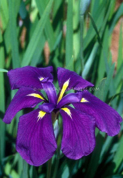 Japanese Iris , Iris ensata in bloom with purple flowers