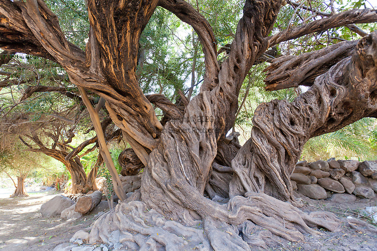 San Javier Mission, one of the best preserved Spanish Mission churches anywhere on the Baja California Peninsula.  Gulf of California, Baja California, Mexico.  A 300 year old olive tree still thrives on the property.
