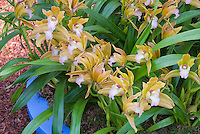 Miniature Cymbidium Tiger Tail orchid
