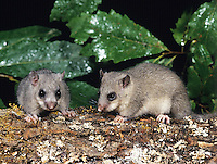 Edible or Fat Dormouse (Glis glis), France