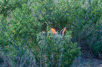 650228036 a wild blacktail jackrabbit lepus californicus attempts to conceal himself in some dense foliage without success in the rio grande valley of south texas