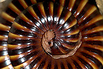 African Giant Millipede, Archispirostreptus gigas, curled up, round, protective, defence