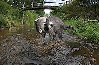 """Waschbär, etwa 4 Monate altes Jungtier sammelt erste Erfahrungen mit dem Element Wasser, schüttelt sich, Tierkind, Tierbaby, Tierbabies, Männchen, Rüde, Waschbaer, Wasch-Bär, Procyon lotor, Raccoon, Raton laveur, """"Frodo"""", Fisheye"""