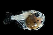 Juvenile deep-sea Hatchetfish (Argyropelecus olfersi)