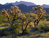 Organ Pipe National Monument, AZ<br /> Morning light on three cholla (Cereus bigelovii) cacti and silhouetted profiles of the Ajo range