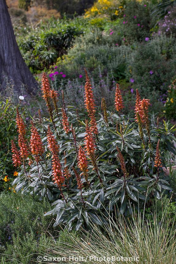 Isoplexis canariensis, Canary Island Foxglove, flowering summer-dry perennial in San Francisco Botanical Garden