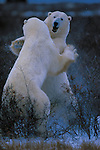 Polar Bears, Churchill, Manitoba