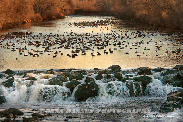 Ducks and geese winter by falls on the South Platte River, Colorado