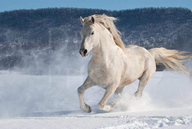 Picture of powerful white Arabian stallion running through new snow.