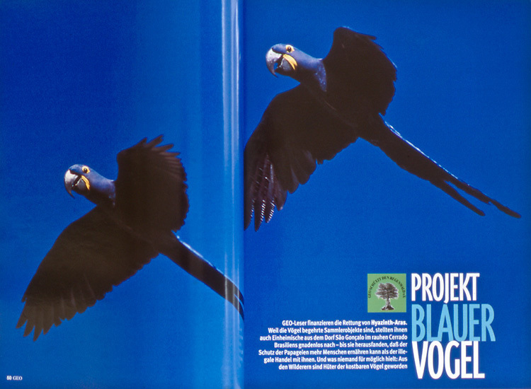 Magazine article about Hyacinth Macaws in northeastern Brazil