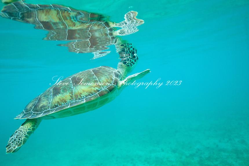 Green Sea Turtle<br /> Chelonia mydas<br /> Maho Bay, St. John<br /> Virgin Islands National Park