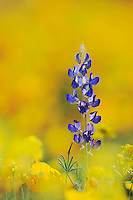 Desert Lupine (Lupinus sparsiflorus)Mexican Gold Poppy (Eschscholzia californica mexicana), blooming, Organ Pipe Cactus National Monument, Arizona, USA