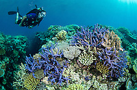 Diver Chris Liles swims above healthy hard corals. Sandstone Reef, Bligh Water, Viti Levu, Fiji, Pacific Ocean