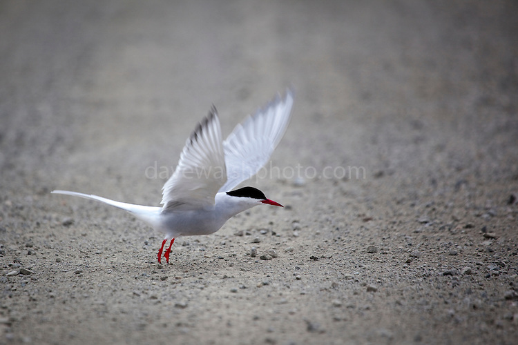 Arctic Tern, sterna paradisea, preparing to mate and nest in the Arctic scientific research village of Ny-Alesund, Svalbard.