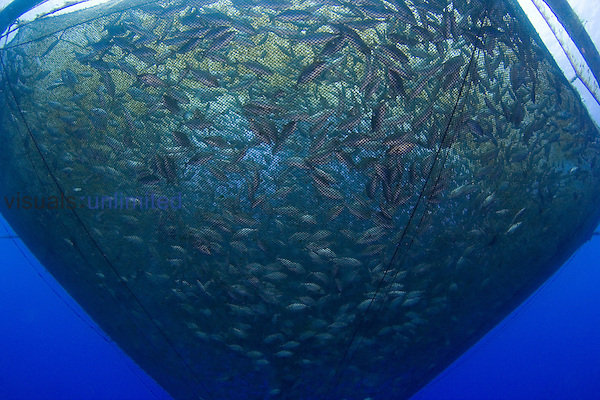Almaco Jack (Seriola rivoliana) in a sea farm pen, Hawaii, USA.