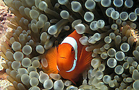 lq8479. Spine-cheek Anemonefish (Premnas biaculeatus). Indonesia, Indo-Pacific Ocean..Photo Copyright © Brandon Cole. All rights reserved worldwide.  www.brandoncole.com..This photo is NOT free. It is NOT in the public domain. This photo is a Copyrighted Work, registered with the US Copyright Office. .Rights to reproduction of photograph granted only upon payment in full of agreed upon licensing fee. Any use of this photo prior to such payment is an infringement of copyright and punishable by fines up to  $150,000 USD...Brandon Cole.MARINE PHOTOGRAPHY.http://www.brandoncole.com.email: brandoncole@msn.com.4917 N. Boeing Rd..Spokane Valley, WA  99206  USA.tel: 509-535-3489