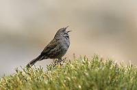 Heckenbraunelle, singend, Hecken-Braunelle, Prunella modularis, dunnock